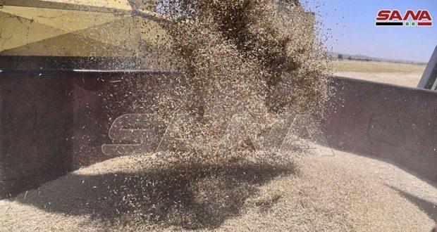 انتاج القمح في سوريا